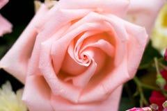 Cerrado para arriba de rosa anaranjada del color Foto de archivo