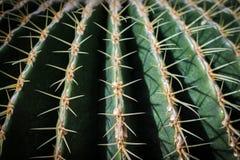 Cerrado para arriba del cactus de barril Imagen de archivo libre de regalías