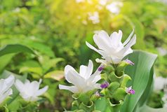 Cerrado para arriba del tulipán blanco floreciente de Tailandia de la flor de Krachai en el jardín del verano con los rayos de la imagen de archivo libre de regalías