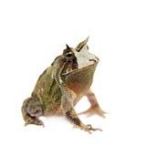 Cerrado toad on white Royalty Free Stock Photography