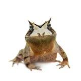 Cerrado toad on white Stock Image
