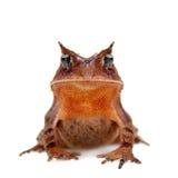 Cerrado toad on white Stock Photography