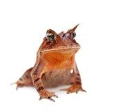 Cerrado toad on white Stock Photos