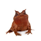 Cerrado toad on white