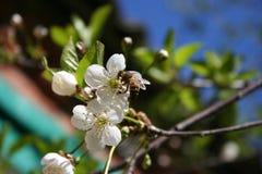 Cerrys Стоковые Изображения RF