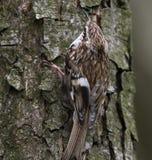 Certhia familiaris. Bird sitting on a tree Stock Image