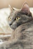 Certosino猫 免版税图库摄影