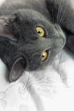 Certosino Cat Stock Photos