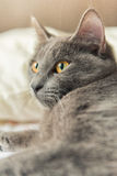 Certosino Cat Royalty Free Stock Photography