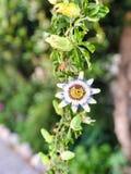 Cerulea пассифлоры в цветени в саде Стоковое Изображение RF