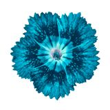 Cerulean cyan carnation flower isolated on white background. Close-up. Element of design royalty free stock photo