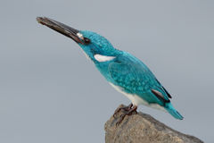 Cerulean kingfisher eating a fish Royalty Free Stock Photo