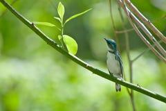 Cerulean Warbler Stock Photo