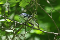 Cerulean Warbler. Setophaga cerulea is a neotropical bird that spends its time in the treetop canopy and is very hard to see.  It is a migratory bird that Stock Photography