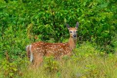Cervatillo alerta de los ciervos de la cola blanca Foto de archivo