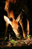 Cervatillo atado blanco de los ciervos Foto de archivo