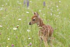 Cervatillo atado blanco en el prado de wildflowers imagen de archivo libre de regalías
