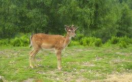 Cervatillo de los ciervos Fotos de archivo libres de regalías