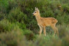 Cervatillo de los ciervos de huevas Fotos de archivo