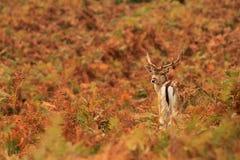 Cervatillo de los ciervos en barbecho Fotos de archivo