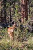Cervatillo de los ciervos mula Imagen de archivo libre de regalías