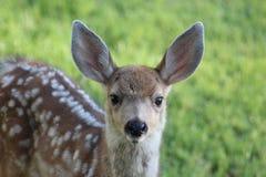 Cervatillo de los ciervos mula Imagenes de archivo