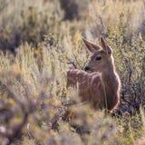 Cervatillo de los ciervos mula Foto de archivo