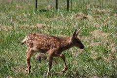 Cervatillo de los ciervos mula Fotografía de archivo libre de regalías