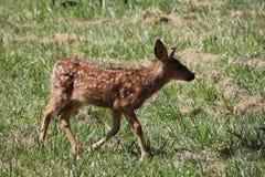 Cervatillo de los ciervos mula Foto de archivo libre de regalías