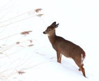Cervatillo en invierno Imagen de archivo libre de regalías