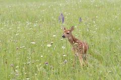 Cervatillo en prado del Wildflower Imagenes de archivo