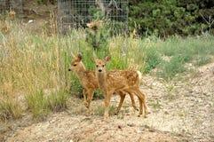 Cervatillos gemelos de los ciervos mula en la ladera Imagen de archivo libre de regalías