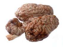 cerveau Photo stock