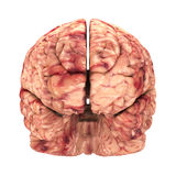 Cerveau d'anatomie - Front View Isolated Photos stock