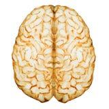 Cerveau d'aquarelle illustration de vecteur