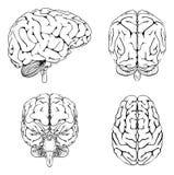Cerveau d'avant et de dos de côté supérieur Image stock