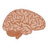 Cerveau d'icône de médecine Images libres de droits