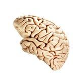 Cerveau d'isolement sur le blanc photos stock