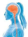 Cerveau femelle illustration stock