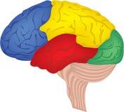 Cerveau humain Image stock