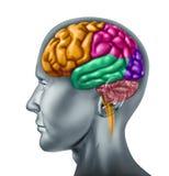 Cerveau humain Photographie stock libre de droits