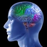 Cerveau humain Images stock