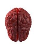Cerveau humain d'isolement Image libre de droits