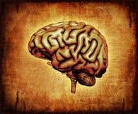 Cerveau humain sur le parchemin Photographie stock libre de droits