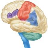 Cerveau - vue de côté illustration libre de droits