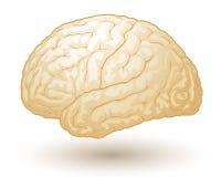 cerveaux Photographie stock libre de droits