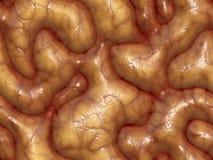 cerveaux 3d Photo stock