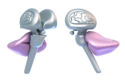 Cervelletto con il tronco cerebrale illustrazione vettoriale