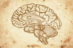 Cervello Fotografie Stock Libere da Diritti