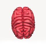 cervello Immagini Stock Libere da Diritti